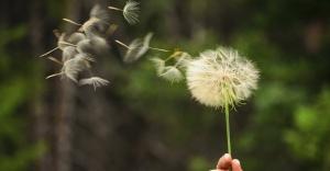 dand-seeds-flower-wind-blow-wide